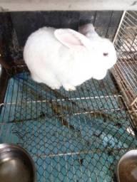 Coelhas fêmeas adultas