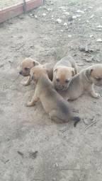 Venda de filhotes de cachorros