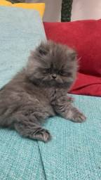 Título do anúncio: Filhote Gato Persa