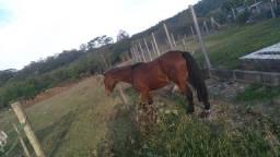 Cavalo Crioulo p Domar Parcelo no  cartao