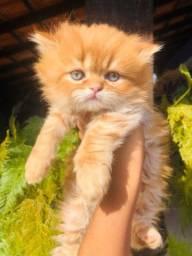 Lindo gato persa macho vacinado pedigree microchip