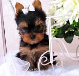 Yorkshire Terrier micro fêmea e machinho bb venha conferir