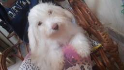 Poodle toy femea