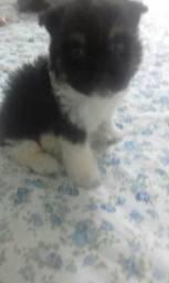 Mini lhasa apso filhote macho