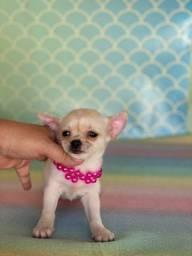 Chihuahua fémea