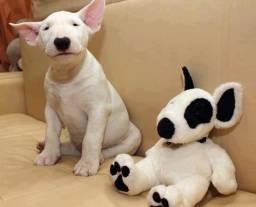 Bull Terrier, machinhos e femeas com garantias de vida e saude