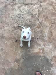 Vendo cadelinha de 5  meses