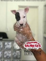 Bull Terrier Ingles, machos e fêmeas, chamar no wht's para informações