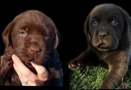 Filhotes Labrador Pedigree CBKC - Até 12x no cartão
