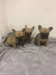 Bulldog Francês filhotes lindos * entre em contato!