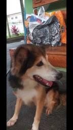 Cachorro Mestiço Border Collie castrado