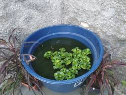 Título do anúncio: Aguapé ? Eichhornia crassipes