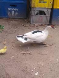 Vendo casal de pato 50