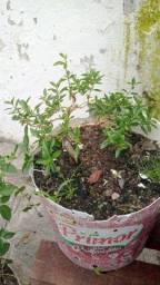 Vendo bonsai de serrisa phoetida preço no wattsapp