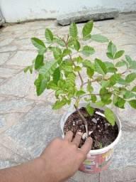 Vendo bonsai de aroeira vermelha muito bonita mais fotos no zap