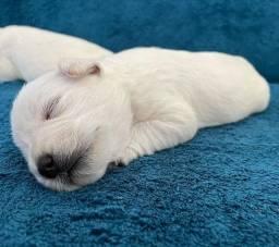 Schnauzer Miniatura machos branco