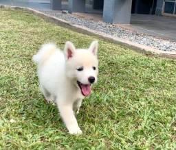 Filhote Branca de Husky Siberiano!