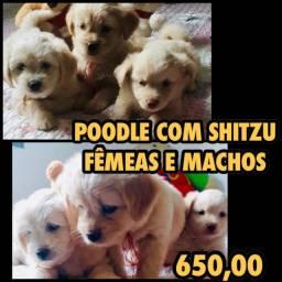 FILHOTES FÊMEAS E MACHOS DE SHITZU COM POODLE