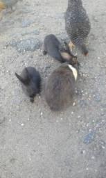 Vendo este casal de coelho.