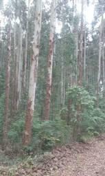 Árvore de Eucalipto com 10 anos