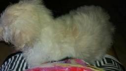Vende se cachorro poodlo linda