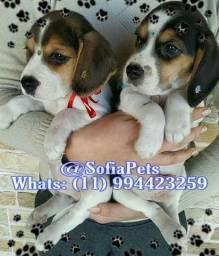 Lindos Beagle's disponíveis!!