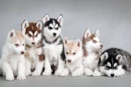 Procuro husky siberiano para comprar