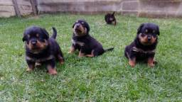 Cão de guarda/ Rottweiler canil Canaã/ Ceará
