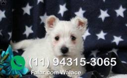 West highland white terrier entrega hoje, chamar no what's