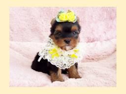 Temos essa fantástica yorkshire fêmea, FOTOS REAIS! Pet shop Namu Royal!