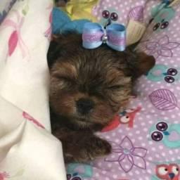 Fêmeas yorkshire Terrier