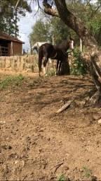 Égua paulista extra de sela