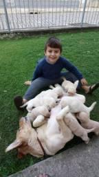 Filhotes de labrador puros com ótima qualidade e genética.