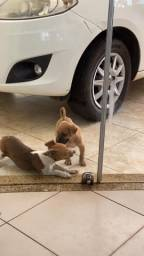 Adoção responsável cachorro macho