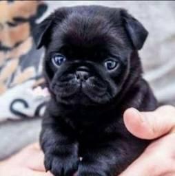 Pug Black Fêmea!!! Pedigree excepcional.