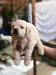 Vendo cachorro poodle