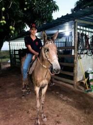 Título do anúncio: Vendo três animais uma mula , um cavalo mm e a égua mm