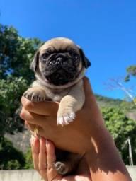 Filhotes Pug Entrega imediata já documentados