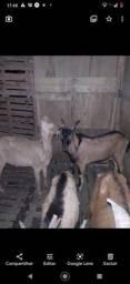 Vendo casal cabra e bode