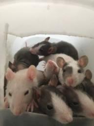 Filhote de rato twister hairless