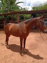 Cavalo Árabe Bh
