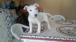 Bull Terrier Inglês Femea