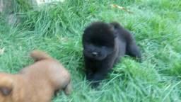 Chow-chow macho e femea, marron e preto 35 dias