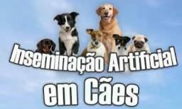 Inseminação artificial em cães