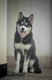 Husky Siberiano (leia o anúncio)
