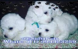 Temos Filhotes de Poodle