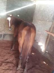 Vendo égua puro sangue quarto de milha idade 2 anos e 3 meses