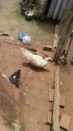 Vendo ovos de pato galados