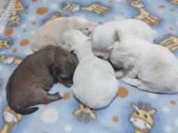 Venda de filhotes Lhasa Apso