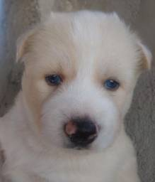 Husky Siberiano, adquira conosco e tenha garantias e suporte veterinário